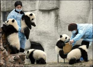 Zookeepers feed and play with panda cubs